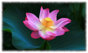 Lila Lotusblume 1