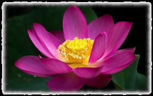 Lila Lotusblume 2