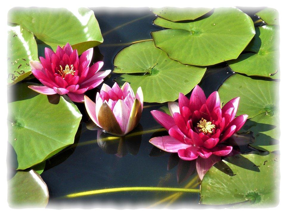 rote Lotusblumen